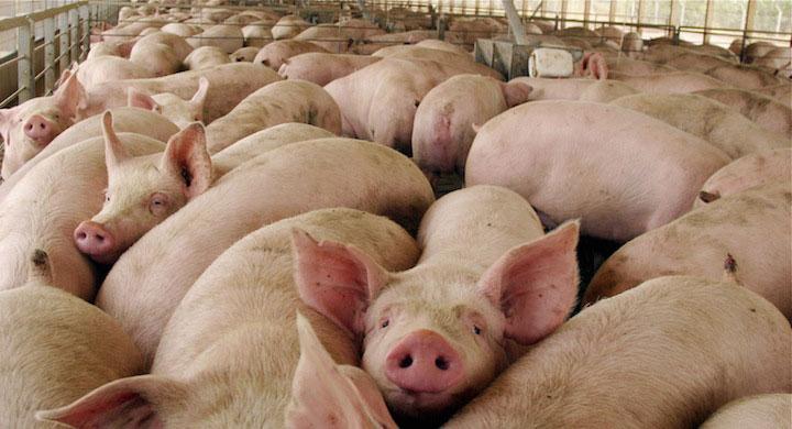 Imagen de archivo de una macrogranja porcina